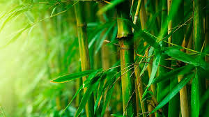 bamboo-forest3