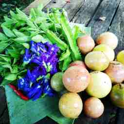 Harvesting passion fruits