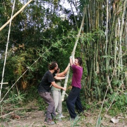 Cutting bamboo canes on the land